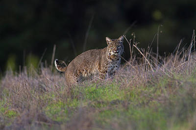 Photograph - Wild Bobcat Encounter by Mark Miller