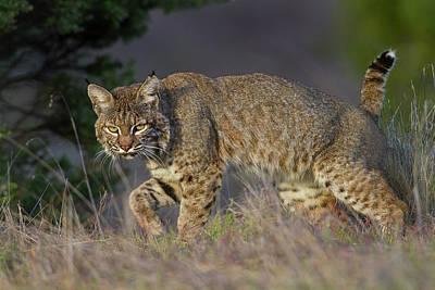 Photograph - Wild Bobcat by Mark Miller