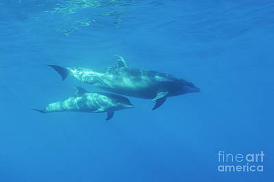 Wild Bottle-nosed Dolphin Mother And Calf Art Print by Sami Sarkis