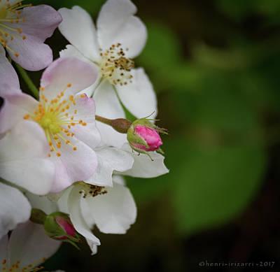 Photograph - Wild Briar Flowers by Henri Irizarri