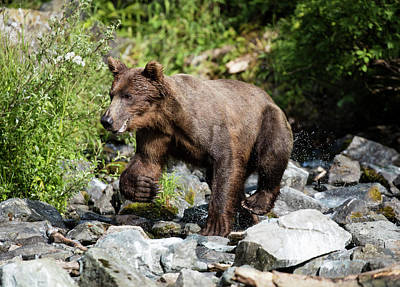 Photograph - Wild Brown Bear by Gloria Anderson