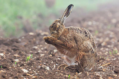 European Hare Wall Art - Photograph - Wild Brown Hare With Eyes Closed, Having A Morning Wash 0124 by Simon Bratt Photography LRPS