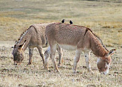 Wildlife Burro Colleagues  Print by Dale Jackson