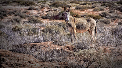 Photograph - Wild Burro Of Utah by Phil Cardamone