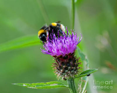 Wild Busy Worker Bumble Bee On A Thistle Flower Original