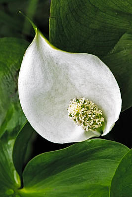 Calla Palustris Photograph - Wild Calla by Stephen Gingold