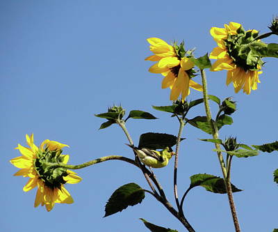 Photograph - Wild Canary Sunflowers by Shannon Grissom