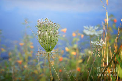 Photograph - Wild Carrot by Lila Fisher-Wenzel
