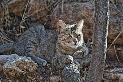 Photograph - Wild Cat 1 by Isam Awad