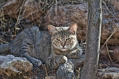 Photograph - Wild Cat 3 by Isam Awad