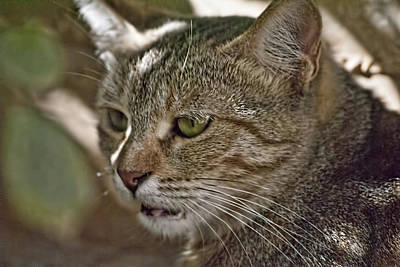 Photograph - Wild Cat 4 by Isam Awad