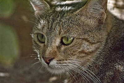 Photograph - Wild Cat 5 by Isam Awad