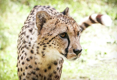 Photograph - Wild Cat Cheetah by Athena Mckinzie