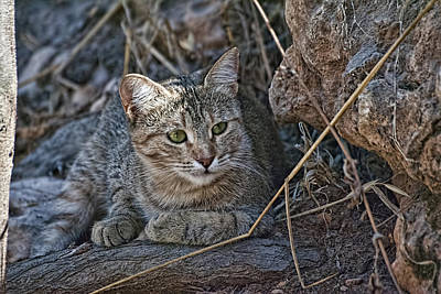 Photograph - Wild Cat by Isam Awad
