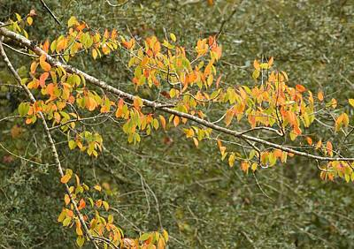 Photograph - Wild Cherry Autumn Leaves by rd Erickson