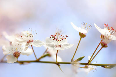 Wild Cherry Blossom Art Print