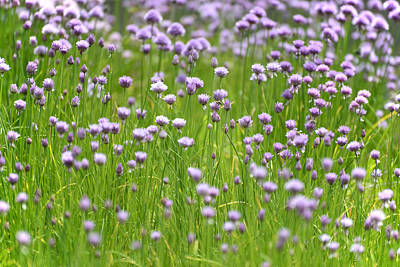Photograph - Wild Chives by Chevy Fleet