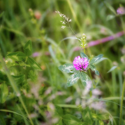 Photograph - Wild Clover Square by Bill Wakeley