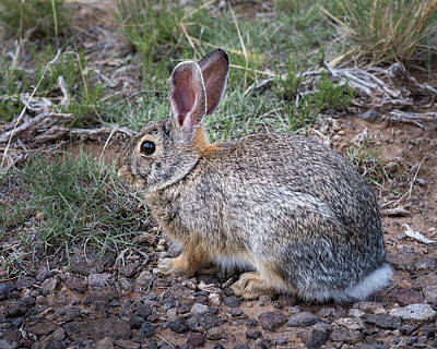 Photograph - Wild Colorado Cottontail In The Brush by John Brink