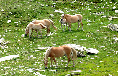 Photograph - Wild Colts And Mares by Laura Greco