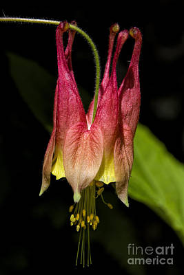 Photograph - Wild Columbine by Barbara Bowen