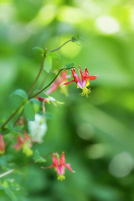 Photograph - Wild Columbine Of Mt Rainier Vertical by Belinda Greb