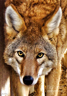 Photograph - Wild Coyote by Adam Olsen