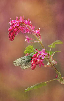 Photograph - Wild Currant Blossom by Mary Jo Allen