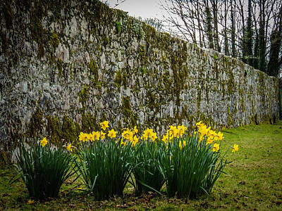 Photograph - Wild Daffodils At Coole Park by James Truett