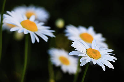 Photograph - Wild Daisies by Cristina Stefan