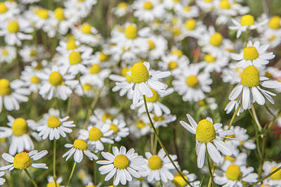 Photograph - Wild Daisies by David Hare