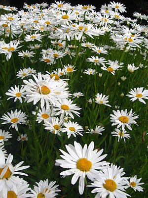 Photograph - Wild Daisies by Dorothy Cunningham