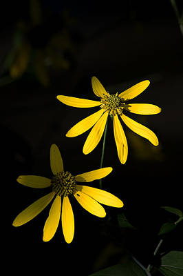 Photograph - Wild Daisies Highlighted By The Sun by Bill Jordan
