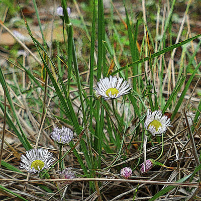 Photograph - Wild Daisies by Laurel Powell