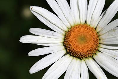 Photograph - Wild Daisy 1 by Mary Bedy