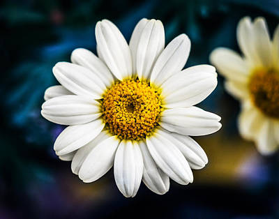 Photograph - Wild Daisy by Nick Bywater
