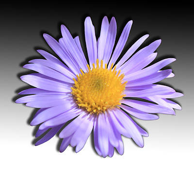 Photograph - Wild Daisy by Shane Bechler