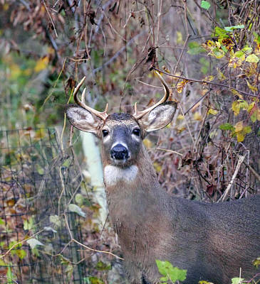 Photograph - Wild Deer by Paul Ross