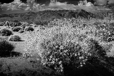 Art Print featuring the photograph Wild Desert Flowers Blooming In Black And White In The Anza-borrego Desert State Park by Randall Nyhof