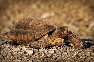Animals Photos - Wild Desert Tortoise Saguaro National Park by Steve Gadomski