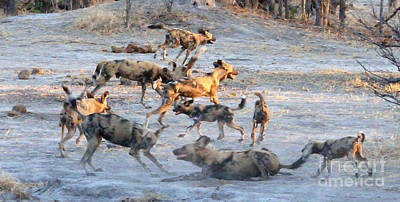 Photograph - Wild Dog Excitement by Tom Wurl