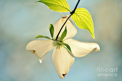 Photograph - Wild Dogwood Bloom 2 by Kelly Nowak