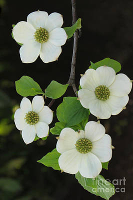 Photograph - Wild Dogwood by Frank Townsley