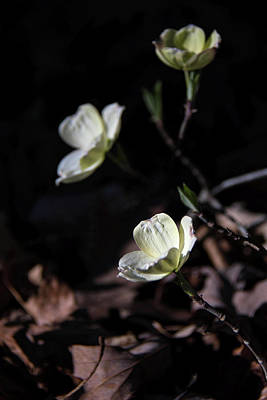 Photograph - Wild Dogwood by Linda Shannon Morgan