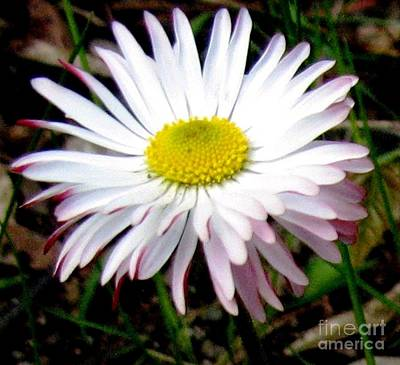 Photograph - Wild English Daisy by Hazel Holland