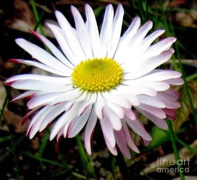 Photograph - Wild English Daisy by Hazel Holland