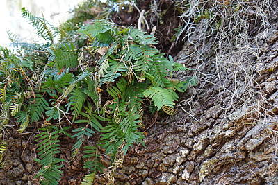 Photograph - Wild Ferns by Laurie Perry