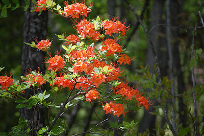 Photograph - Wild Flame Red Azalea by rd Erickson