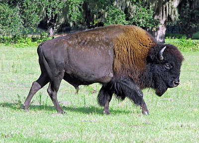 Photograph - Wild Florida Buffalo by D Hackett