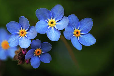 Wild Flower Forget-me-not Since The Middle Ages Symbolizes The Celestial Eye And Reminds You Of God Art Print